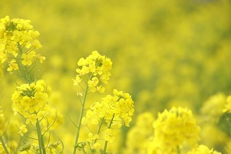 菜の花~Fantasy・・13