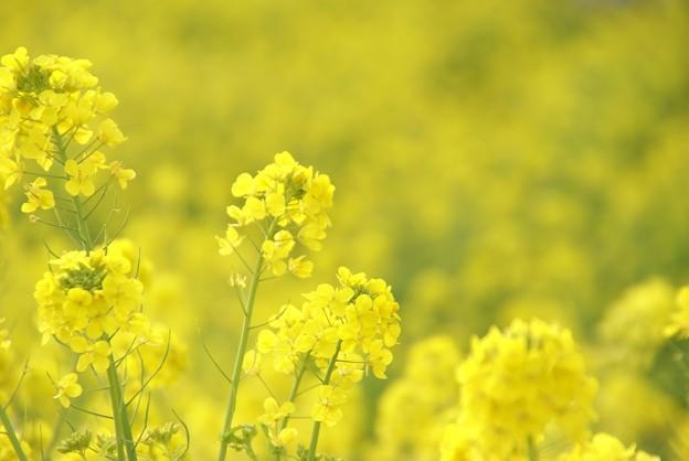 写真: 菜の花~Fantasy・・13