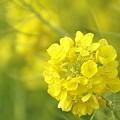 写真: 菜の花~Fantasy・・19
