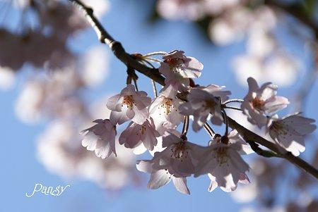 鎌倉 桜夢・・2