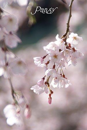 鎌倉 桜夢・・3