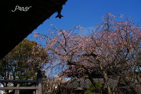 鎌倉 桜夢・・4