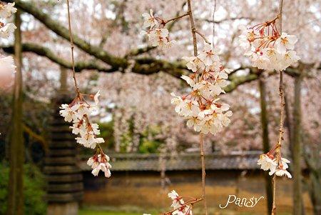桜・・京都 醍醐寺にて・・4