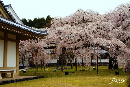 桜・・京都 醍醐寺にて・・7