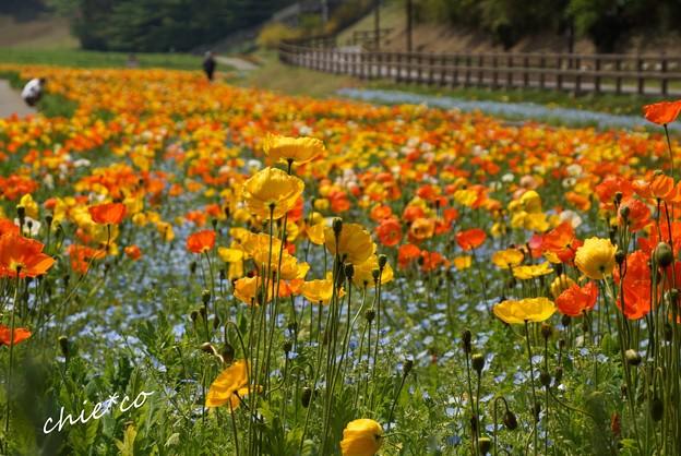 くりはま花の国-018