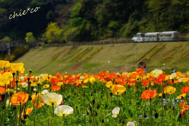 くりはま花の国-085