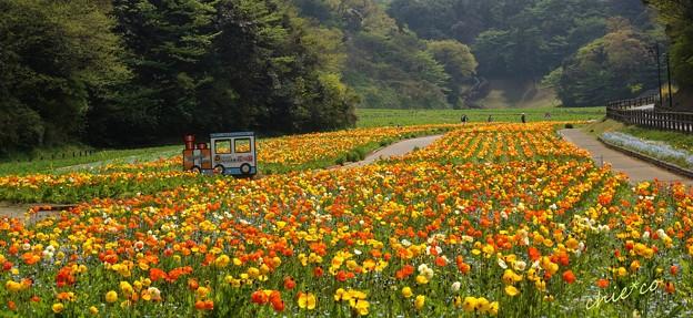 くりはま花の国-239