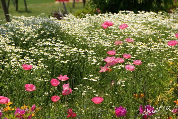 花菜ガーデン-247