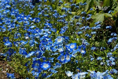 Blue and blue ネモフィラと・・勿忘草と・・