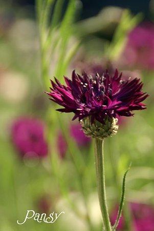 Purpleの矢車草♪