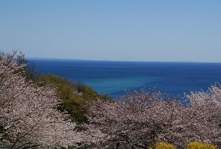 桜と・・相模湾・・
