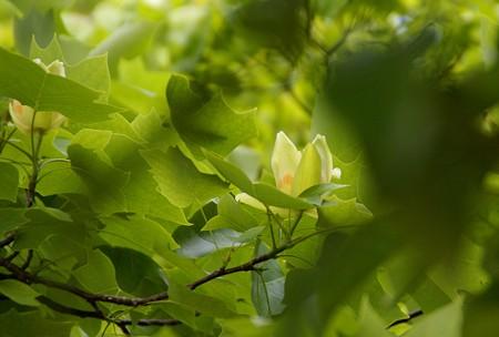 ユリノキの花・・揺れる・・♪
