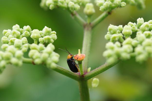 夏の花ヤブガラシにクロウリハムシ