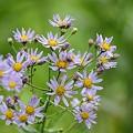 Photos: 雨上がりの紫苑