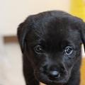 Photos: ラブラドールの子犬