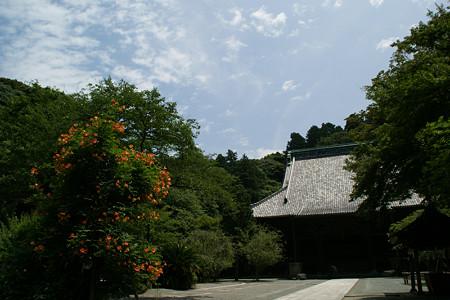 ノウゼンカズラ妙本寺0712tk