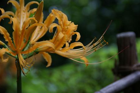 オレンジ色のヒガンバナ0915