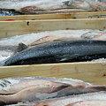 写真: 築地市場に並ぶ、新巻鮭!