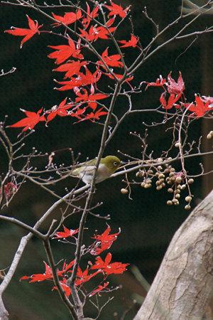 メジロは紅葉より木の実が好き1206x