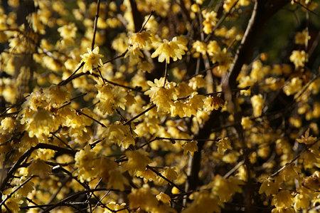 蝋梅が満開、明月院。