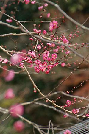 寒紅梅咲く0104s