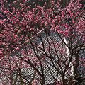 Photos: 古都も寒紅梅で緩む!