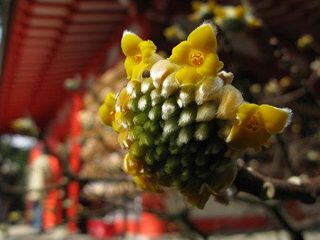 ミツマタの花0211m