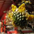 写真: ミツマタの花0211m