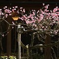 写真: 紅梅の花とランプの光(2/14)