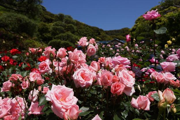 春バラまつり2014、鎌倉文学館!