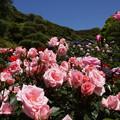 写真: 春バラまつり2014、鎌倉文学館!
