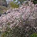 写真: 紅梅の木、満開