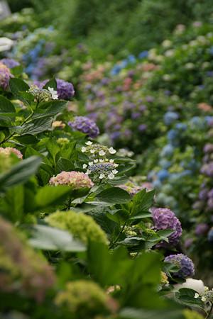 紫陽花の彩り0607tb