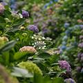 Photos: 紫陽花の彩り0607tb