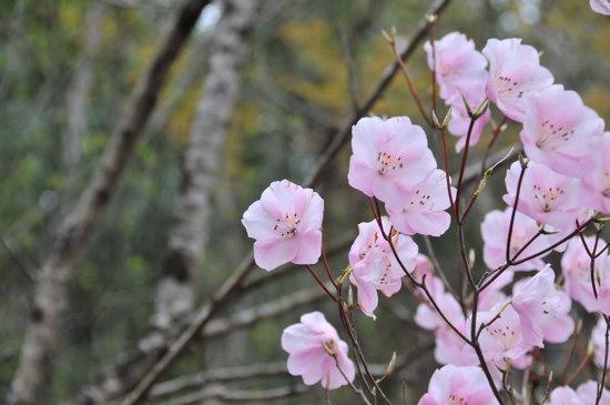 多気山不動尊の桜