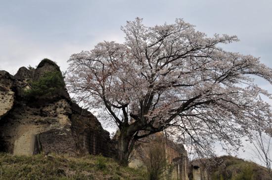 大谷石外堀跡と桜