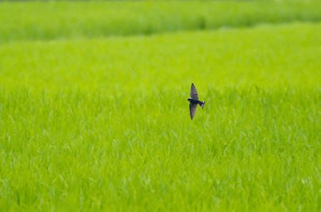 ツバメの飛翔1