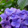 みろく庵前の紫陽花