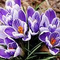 Photos: 春を知らせる、クロッカス