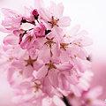 Photos: 見つめられて 桜色に染まります。