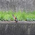 写真: 090328カワセミの交尾(4/10)
