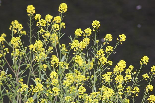 写真: 090412菜の花