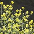 090412菜の花