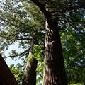 幡かけの杉