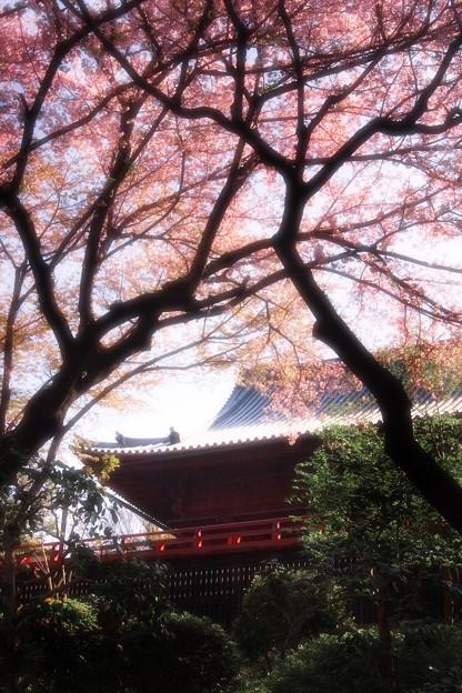 桜望む境内