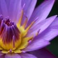 写真: スイレンの花