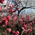 写真: 二ノ丸の梅