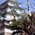 写真: 梅と名古屋城