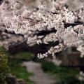 Photos: 桜と小川3
