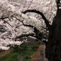Photos: 桜と小川4